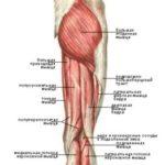Осторожно: растяжение задних мышц бедра!